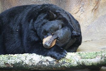 English: American Black Bear Ursus americanus ...