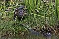 American Alligator Anahuac NWR High Island TX 2018-04-17 11-26-44 (40140931710).jpg