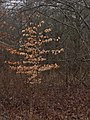 American Beech During a Winter Rain 1.jpg