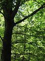 American Beech Tree (10562611704).jpg