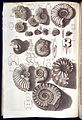 Ammonite fossils Wellcome L0034207.jpg