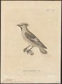 Ampelis phoenicoptera - 1700-1880 - Print - Iconographia Zoologica - Special Collections University of Amsterdam - UBA01 IZ16600019.tif