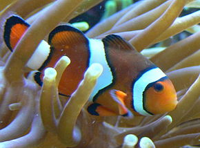 Description de l'image Amphiprion percula.JPG.