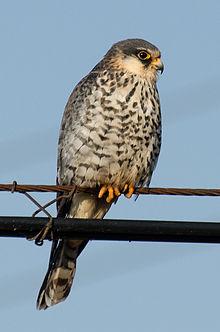 Grey And Orange >> Amur falcon - Wikipedia