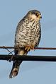 Amur Falcon (F).jpg