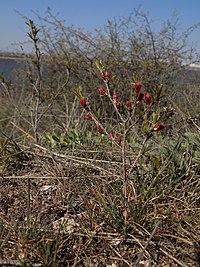 Amygdalus nana at Aliaudy peninsula.jpg