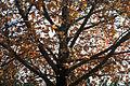 Anadolu sığla ağacı yaprakları.jpg