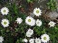Anaphalioides bellidioides.jpg