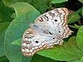 Anartia jatrophae (Lepidoptera).jpg