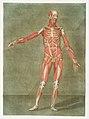 Anatomical illustration by Arnauld-Eloi Gautier-Dagoty , digitally enhanced by rawpixel-com 4.jpg