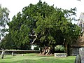 Ancient yew tree - geograph.org.uk - 240147.jpg