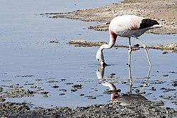 Andean Flamingo Salar De Atacama Chile Luca Galuzzi 2006.jpg