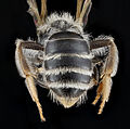 Andrena illinoensis, female, back1 2012-08-08-15.55.09 ZS PMax (8107336150).jpg