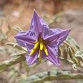 Androceo y gineceo de Solanum elaeagnifolium.jpg