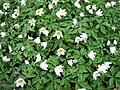Anemone nemorosa - Marburg 001.jpg