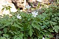 Anemone pseudoaltaica 16.jpg