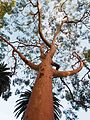 Angophora costata in North Sydney.jpg