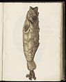 Animal drawings collected by Felix Platter, p1 - (35).jpg