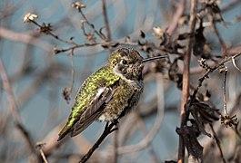 Anna's hummingbird (41119).jpg