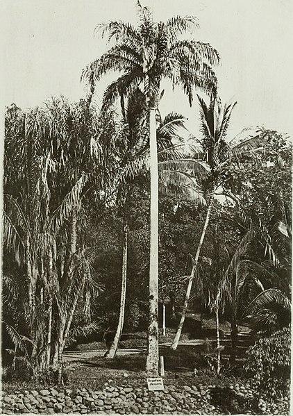 File:Annales du Jardin botanique de Buitenzorg (18221012540).jpg