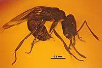 Anochetus corayi SMNSDO834-K1 01.jpg