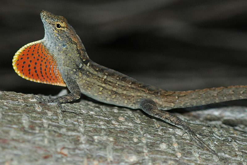 Image result for Brown Anole Lizard