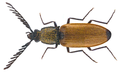 Anostirus castaneus (Linnaeus, 1758) Male (23916230251).png
