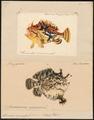 Antennarius marmoratus - 1700-1880 - Print - Iconographia Zoologica - Special Collections University of Amsterdam - UBA01 IZ13600201.tif
