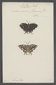 Anteros - Print - Iconographia Zoologica - Special Collections University of Amsterdam - UBAINV0274 049 20 0052.tif
