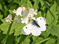 Anthocharis cardamines. Orange Tip female - Flickr - gailhampshire.jpg
