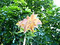Anthocyane färben Ahornblätter.jpg