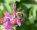 Anthophora plumipes male3.JPG