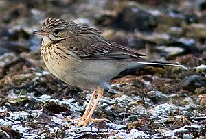 Blyth's pipit - First winter plumage.