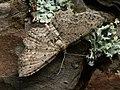 Anticollix sparsata - Dentated pug - Пяденица зазубренная (40896621352).jpg