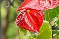 Anturio rojo (Anthurium andraeanum) - Flickr - Alejandro Bayer (1).jpg