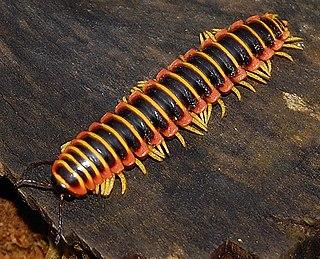 Polydesmida Order of millipedes