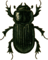 Aphodius antiquus Jacobson.png