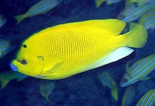 <i>Apolemichthys trimaculatus</i> Species of fish