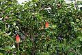 Apple tree and red hot poker at Boreham, Essex, England.jpg
