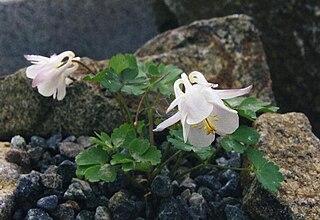 <i>Aquilegia laramiensis</i> species of plant