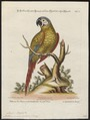 Ara severus - 1700-1880 - Print - Iconographia Zoologica - Special Collections University of Amsterdam - UBA01 IZ18500121.tif