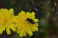 Araignées, insectes et fleurs de la forêt de Moulière (Les Chirons Noirs) (28757697330).jpg