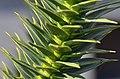 Araucaria araucana - monkey-puzzle tree - monkey tail tree - chilenische Araukarie 07.jpg
