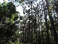 Araucaria en el campo.JPG
