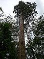 ArboreteumBalaine sequoia.JPG