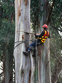 An arborist practicing arboriculture  using a chainsaw to fell a    Arborist