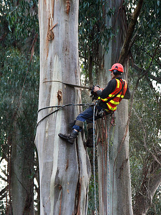 Arboriculture - An arborist practicing tree care: using a chainsaw to fell a eucalyptus tree in a park at Kallista, Victoria.