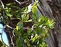 Arbutus unedo in Christchurch Botanic Gardens 03.jpg