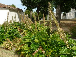 Arces - Acanthus in Arces