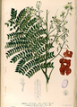 Archidendron scutiferum Blanco2.447-original.png